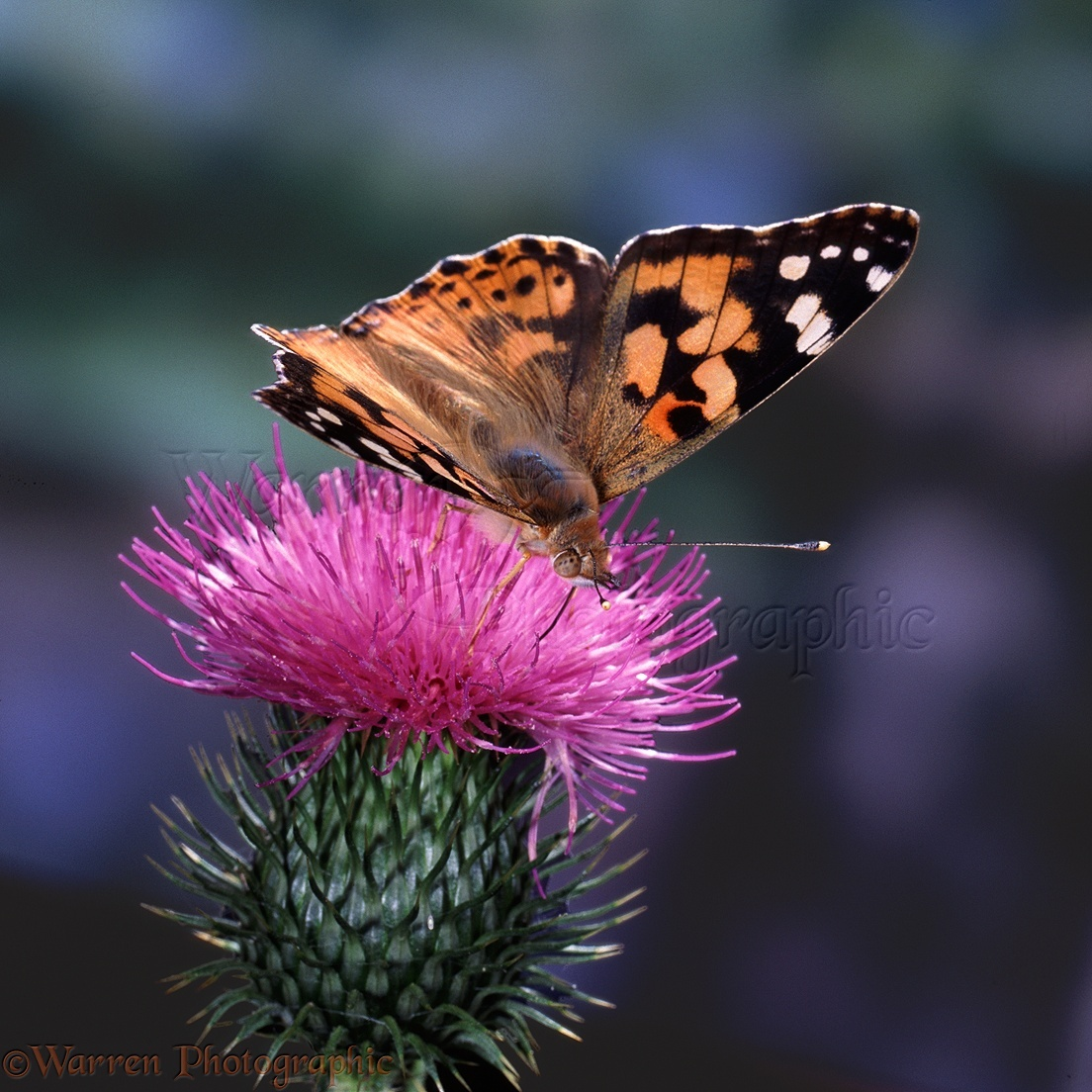 Painted Lady Butterfly On Spear Thistle Photo Wp