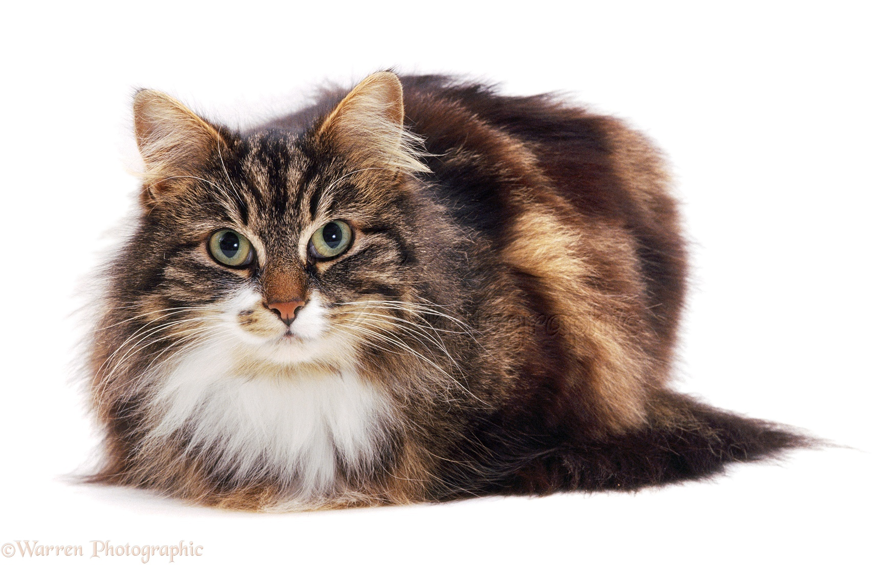 Image result for fluffy cats