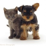 Pets Kitten And Yorkie Pup Photo Wp09152