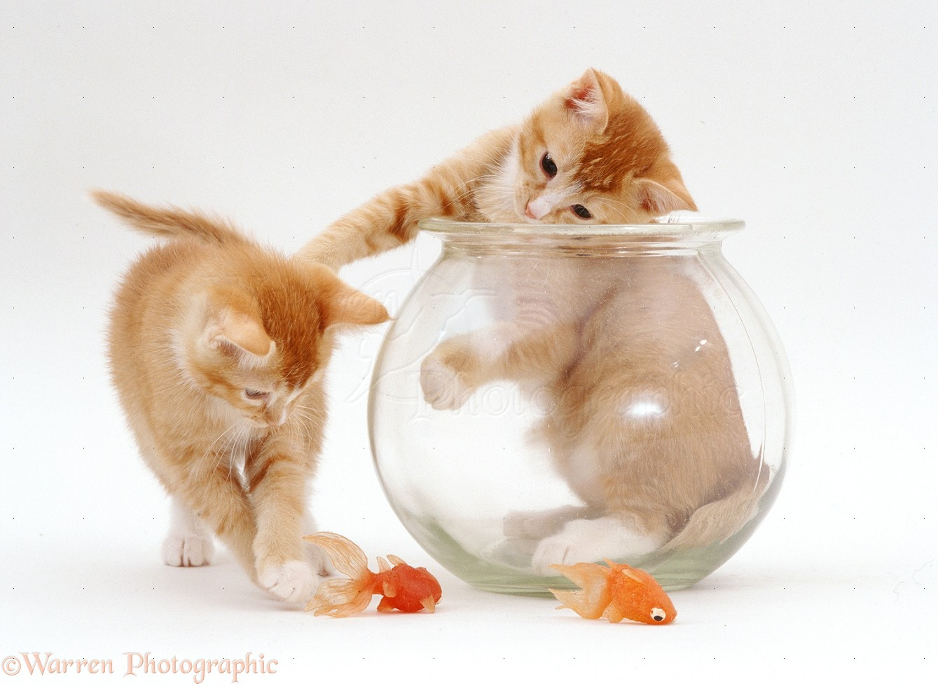 Kittens And Goldfish Bowl Photo Wp