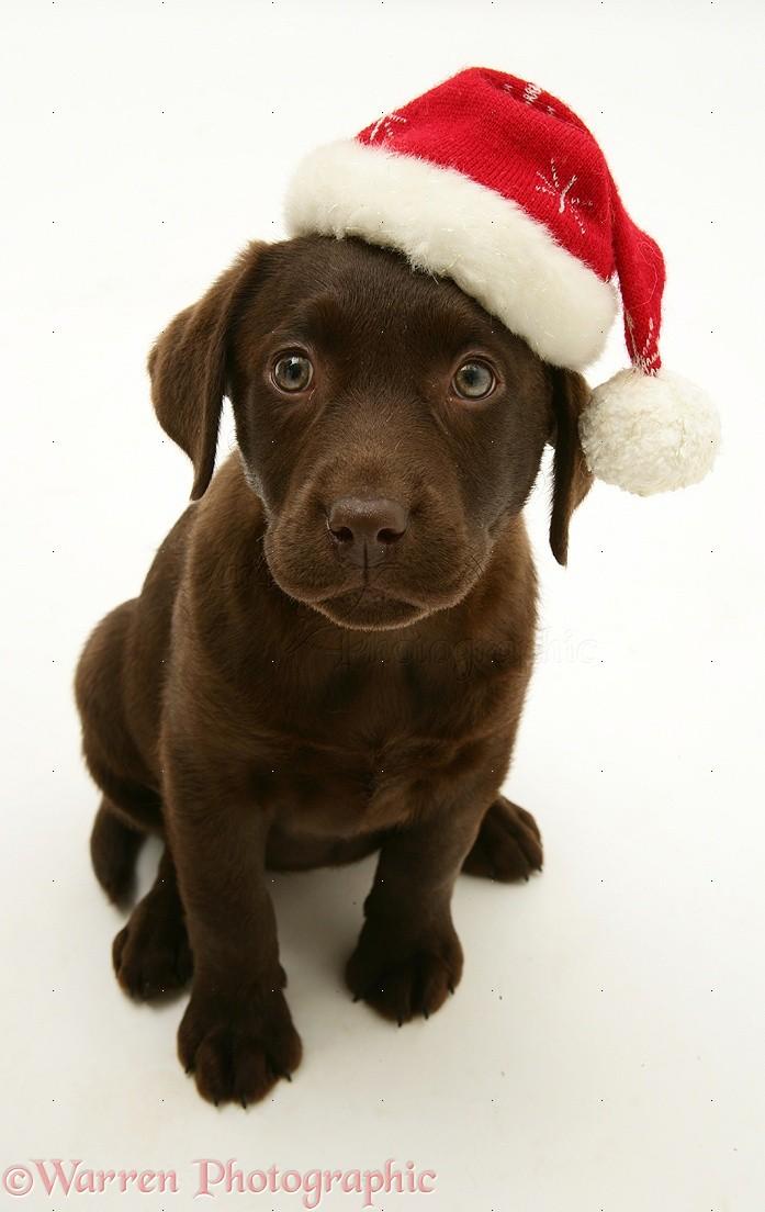 Dog Chocolate Labrador Retriever Pup Wearing A Santa Hat