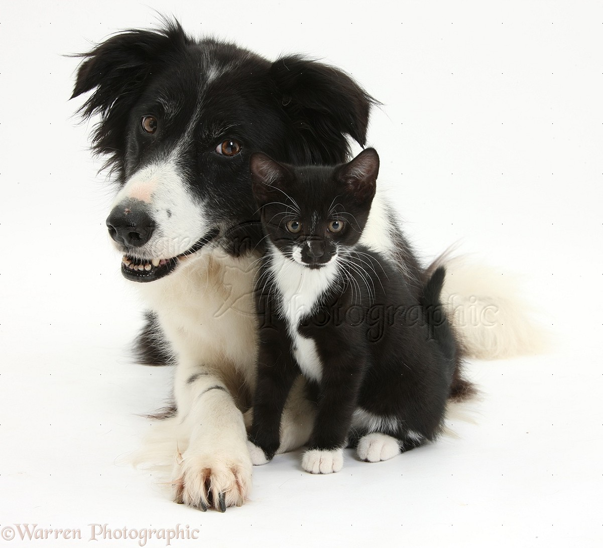 Together And White And Black Mix Cat Border Collie Black