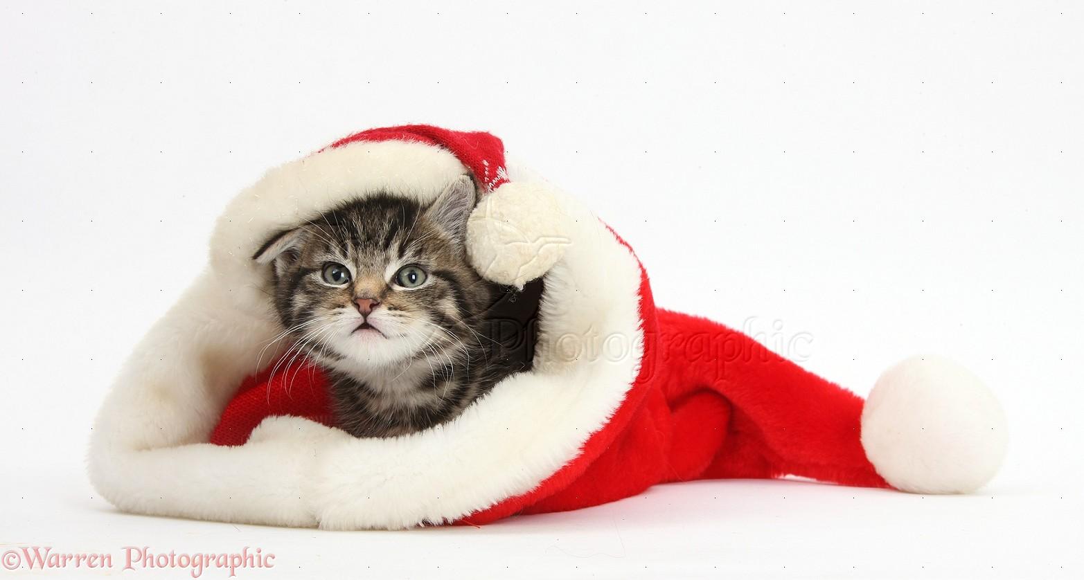 Cute Tabby Kitten Wearing A Santa Hat Photo WP37817