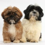 Dogs Brown And Black And White Shih Tzu Puppies Photo Wp38314