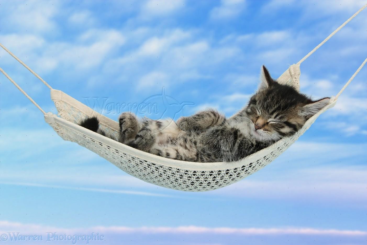 Cute Tabby Kitten Sleeping In A Hammock Photo Wp