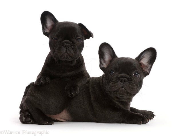 two french bulldog puppies, 6 weeks old photo wp45208