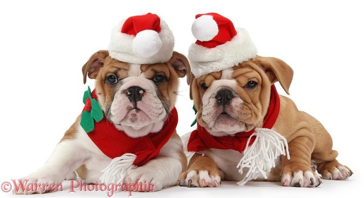 Bulldog Puppies Wearing Santa Hat And Scarf Photo WP39234