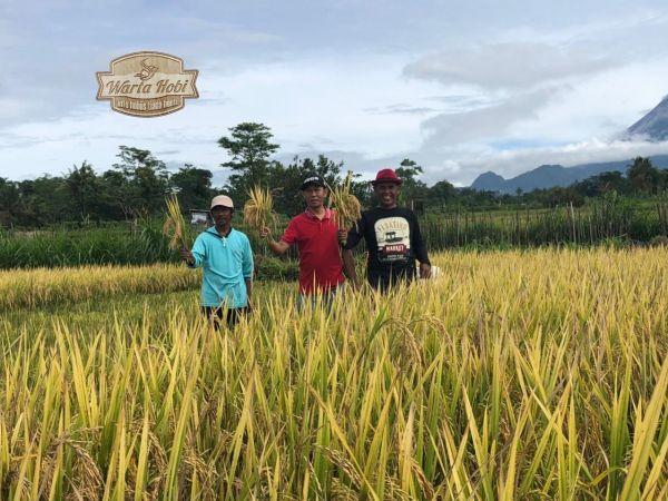 petani padi organik gunakan probiotik a-b