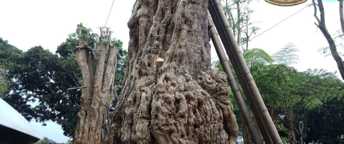pohon pule milik stevanus kebon lele kronggahan sleman