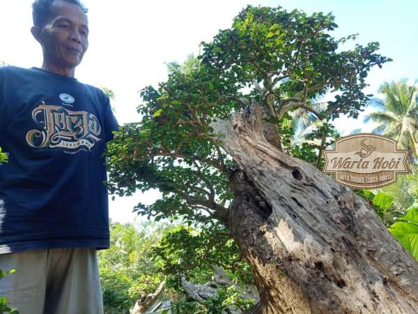 bonsai lerang merapi terkini