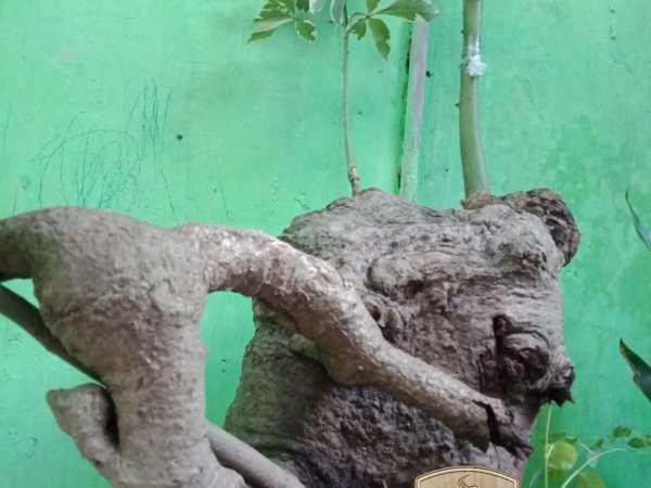 bonsai randu varigata by wartahobi