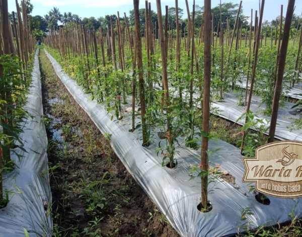 petani cabai 2021 mengeluh