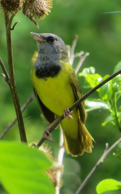 Mourning Warbler field