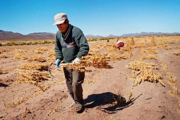 A Bolivian quinoa farmer.