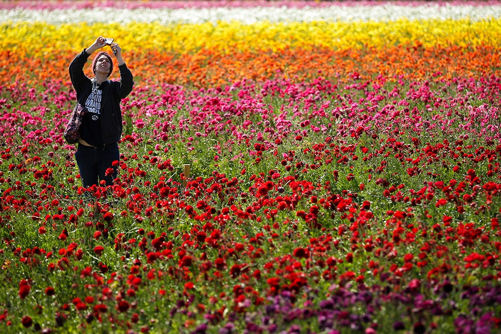 Emily Herren takes a picture with her phone as she visits the Flower Fields, Wednesday, April 2, 2014, in Carlsbad, Calif. A longtime Southern California attraction, the April blooms of colorful Ranunculus flowers at this roadside farm are a springtime tradition. (AP Photo/Gregory Bull)