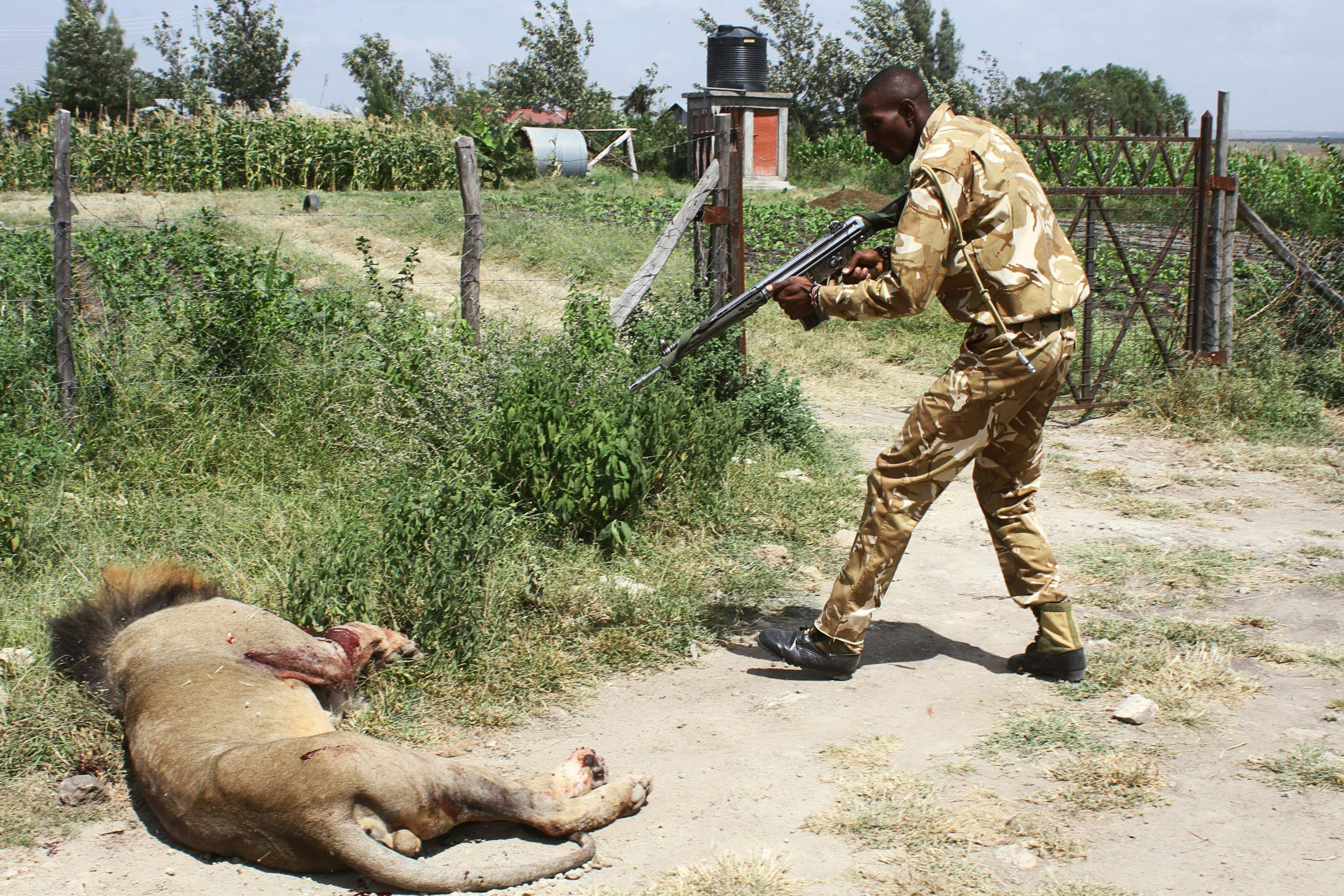 Rangers just killed one of Kenya's most famous lions because they didn't have tranquilizers
