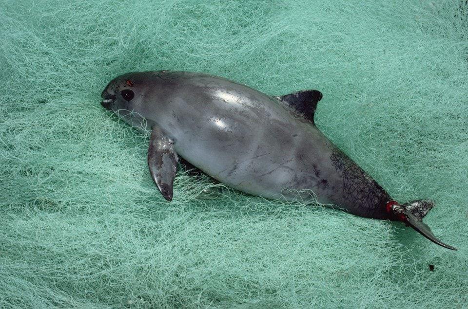 Seekor vaquita yang menjadi korban tangkapan sampingan di Teluk California, Meksiko