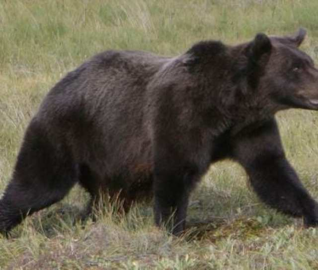 A Grizzly Bear On The Porcupine River Tundra In The Yukon Territories Canada On Aug   Rick Bowmer Ap