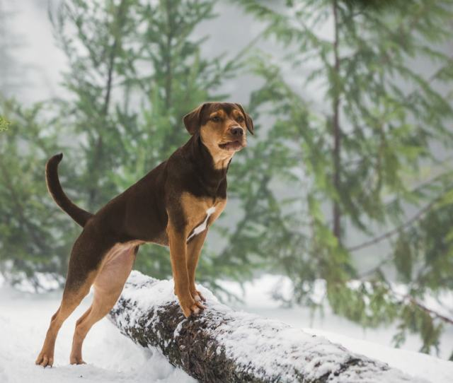 In The Movie A Dogs Way Home Former Tennessee Shelter Dog Shelby Portrays Bella A Pet Who Embarks On A Long Journey In Search Of Her Owner