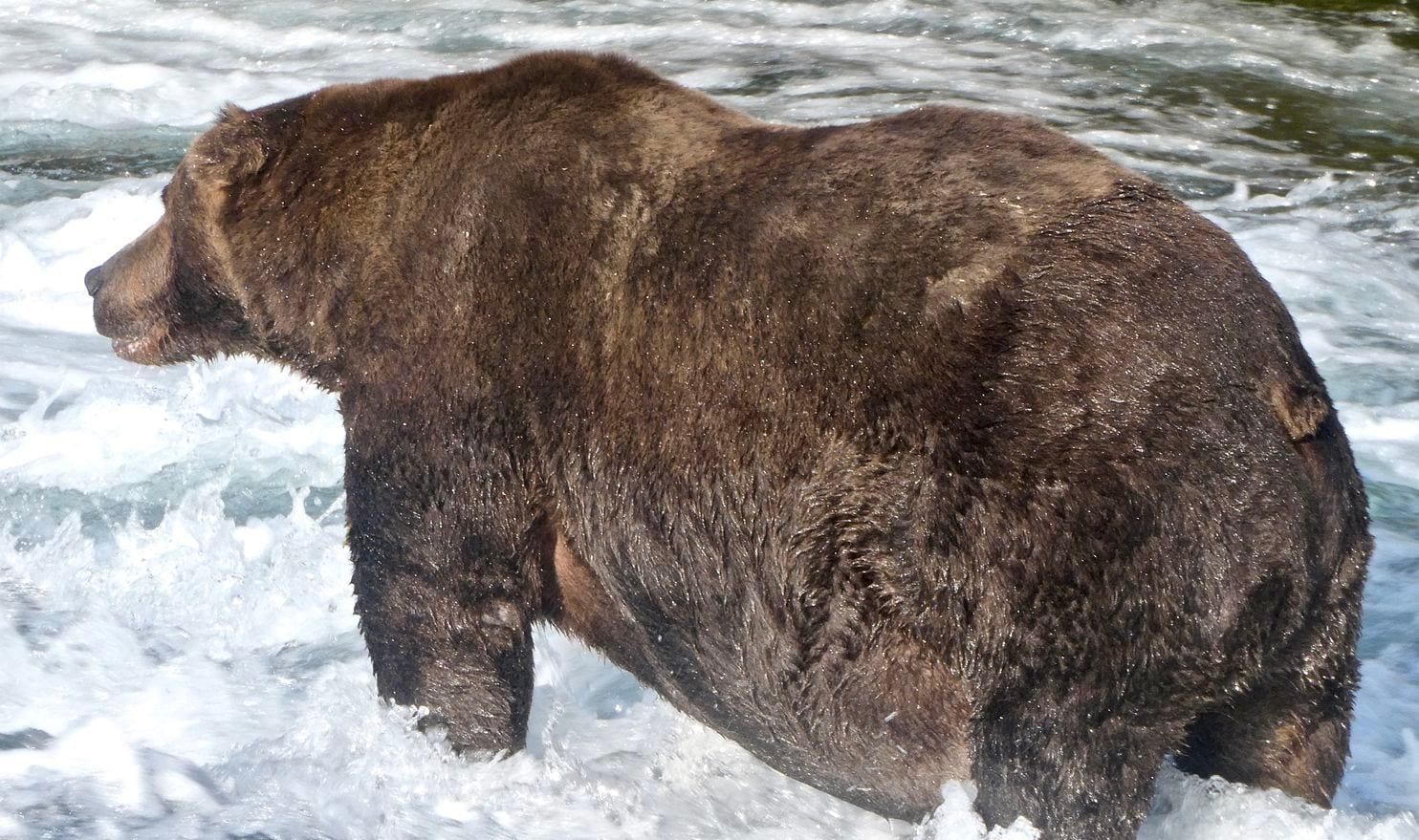 У Fat Bear Week есть чемпион: 747 – самый толстый король 2020 года –  Nachedeu