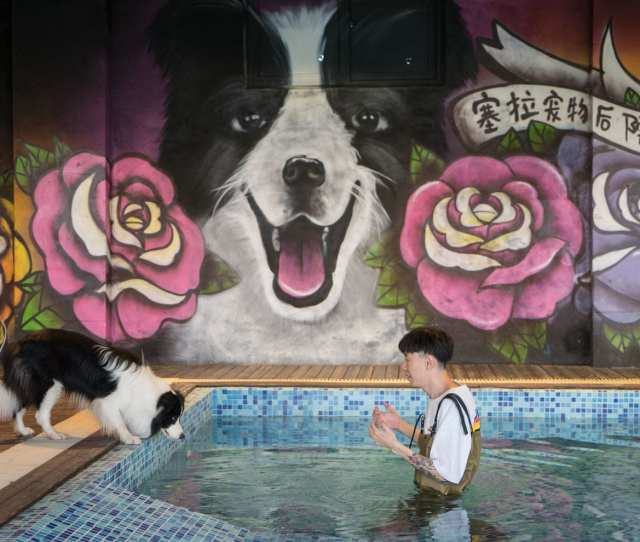 Zhou Tianxiao Instructs His Border Collie Sylar To Jump Into The Pool In His Mansion In Beijing Yan Cong For The Washington Post
