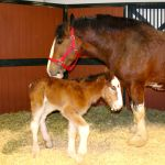 Meet Mac The Adorable Baby Clydesdale That Just Joined The Budweiser Brood The Washington Post