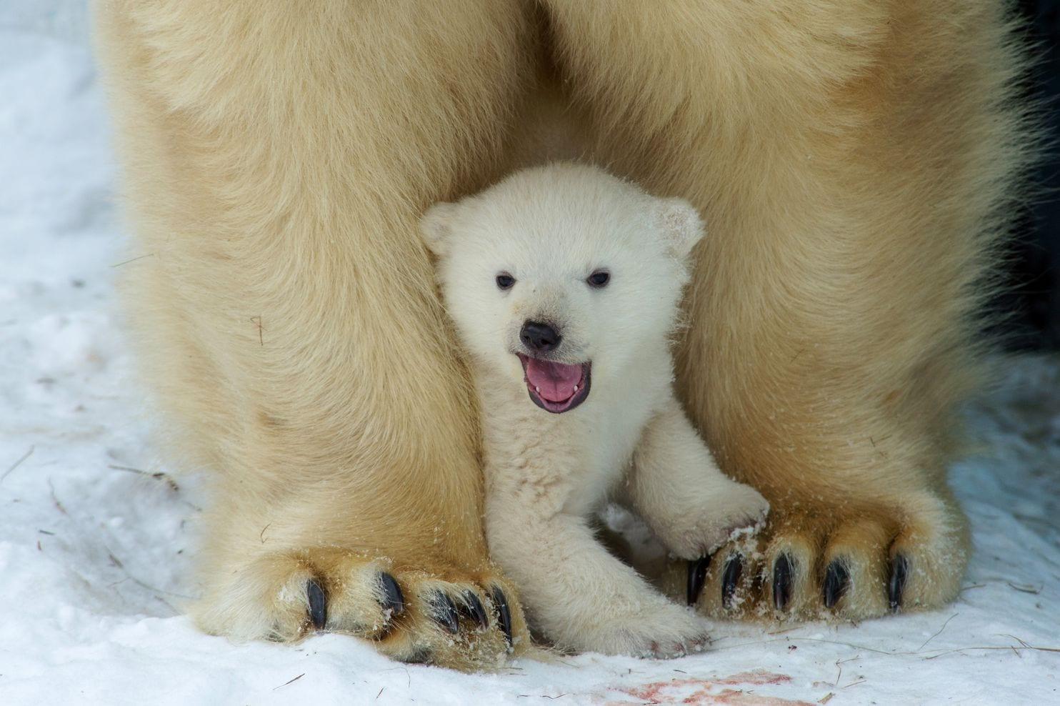 Why Do Polar Bears Look So White