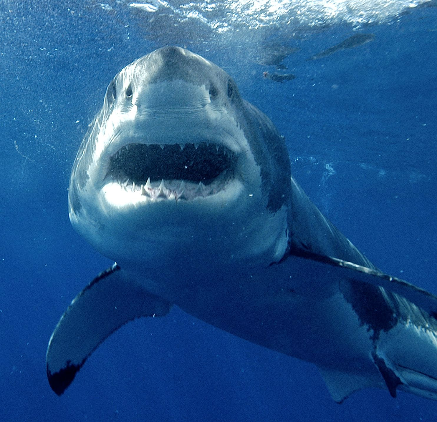 Great White Sharks Are Afraid Of Orcas New Study Shows
