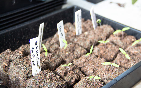 tomato seedling sprouts