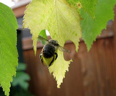 Blattschneiderbiene2012_5.jpg