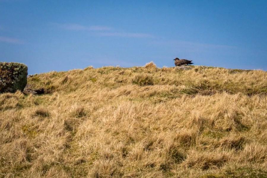 A Arctic Skua nesting on Handa Island
