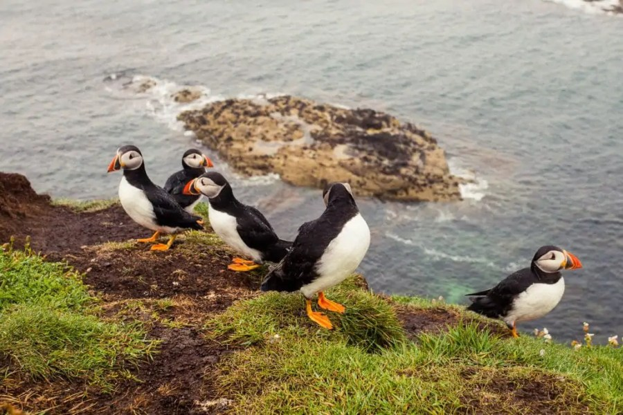 A group of puffins sitting on a cliff on the Isle of Staffa.