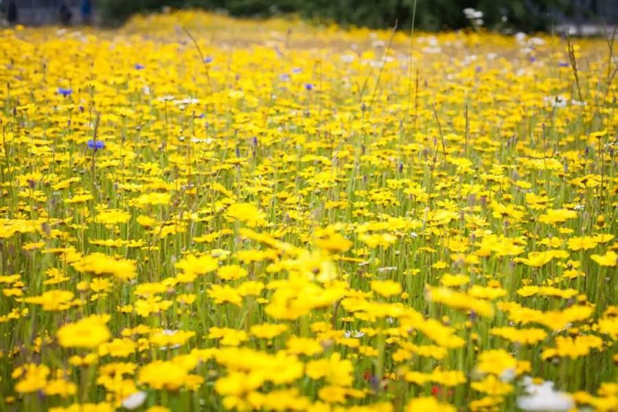 Yellow flowers at the Royal Botanic Garden in Edinburgh.