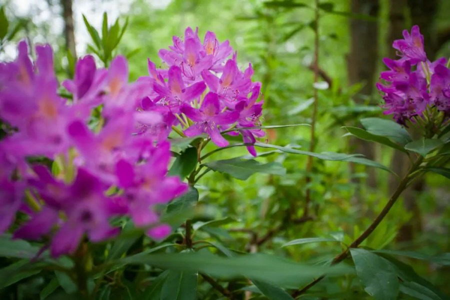 Rhododendron brightens up much of the West Highland Way.