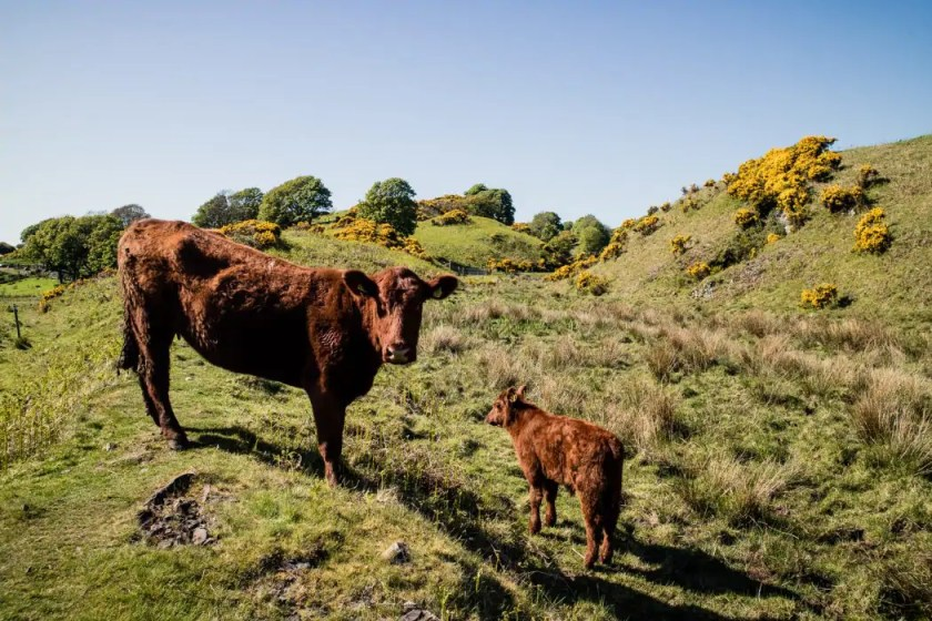 Cows along the West Island Way on the Isle of Bute.