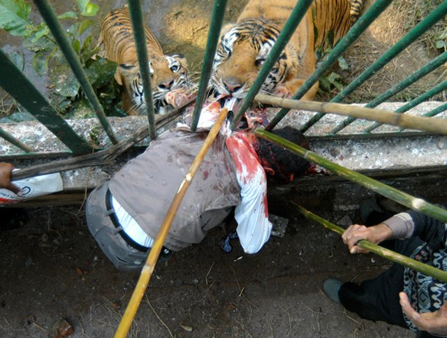 Tigers tourist to death as he tries to take a photo through zoo cage bars