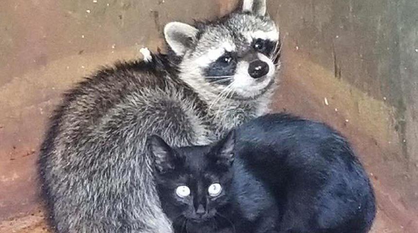 kitten-raccoon-web_1508373466579.jpg