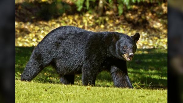 COVER PHOTO_black bear numbers press release_1105_1541451715104.jpg.jpg