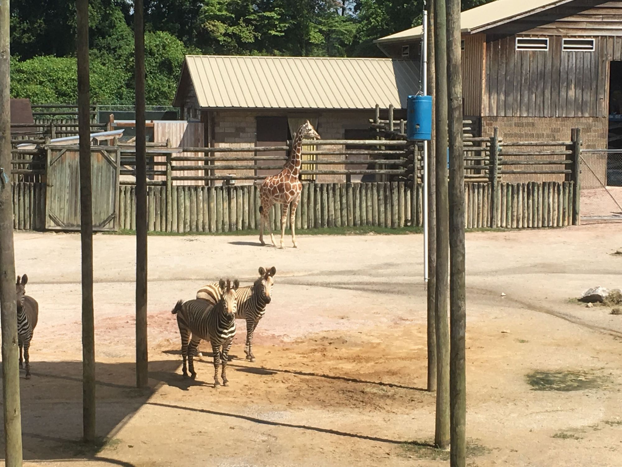 Zoo Knoxville pregnant giraffe Frances.