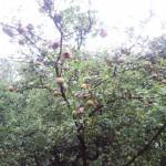 appels1