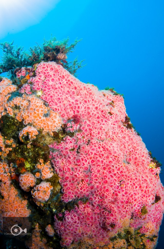 Pink and Orange cup corals cover this pinnacle near Catalina Island