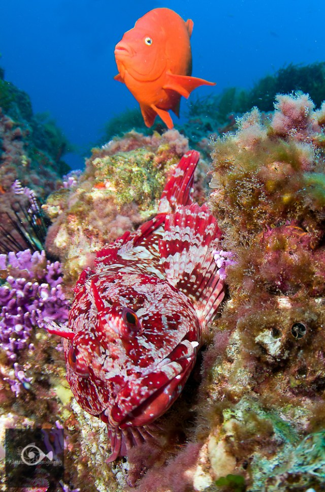 A Geribaldi and a red sculpin (rockfish or scorpion fish) look curiously at the diver with a camera.
