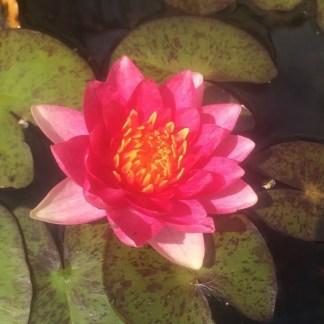 Nymphaea 'Andreana' waterlily