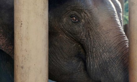In Land That Values Ivory, Wild Elephants Find a Safe Haven