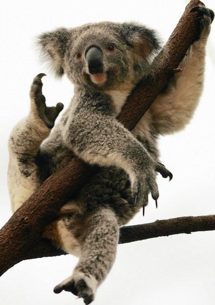koalaabbraccialalbero