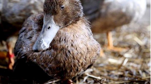 100 mila uccelli delle zone umide vengono uccisi ogni anno dal piombo dello scarto delle munizioni