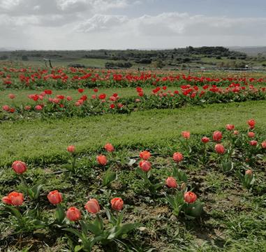 adotta un tulipano