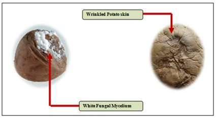 Potato Dry Rot –A fungal disease