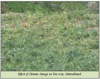 Effect of Climate change on Pea crop, Uttarakhand