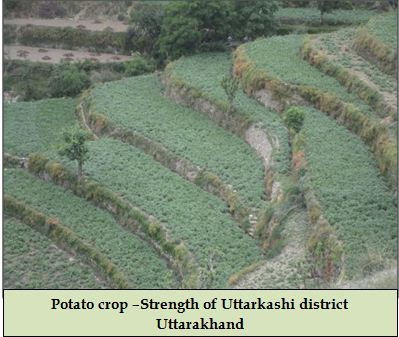 Potato crop –Strength of Uttarkashi district